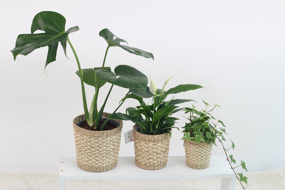 Zuiverende Planten Slaapkamer : Beste luchtzuiverende planten voor slaapkamer zzzslaap